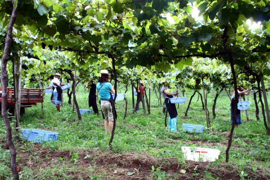 Vindima – Lugares para participar da colheita da uva no Brasil